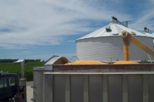 Manage Mold, Insects in Stored Corn