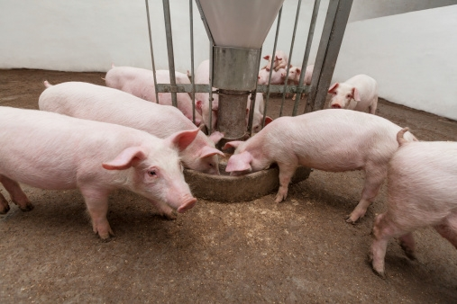 Research says regulations helping small hog farms