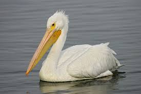 Up to $5,000 reward offered in pelican shooting