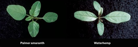 Palmer amaranth and waterhemp are both pigweed species. Waterhemp has leaves that are generally longer and more lance-shaped than other pigweed species.