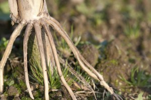 Stalk and Crown Rot Diseases Likely in Many Fields