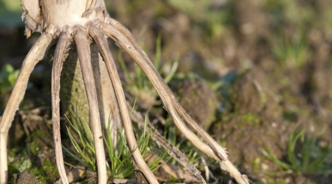 COURTESY_Thinkstock_Corn stalk root