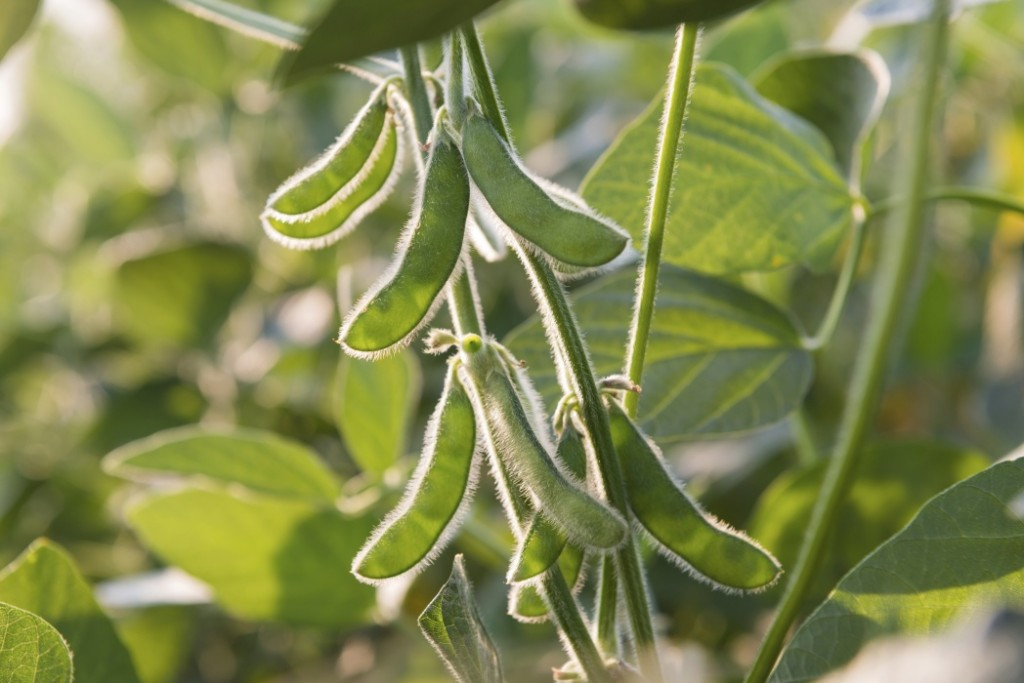 New Discovery May Unlock Higher Soybean Yields in Northern U.S.