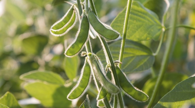 COURTESY_Thinkstock_Soybean