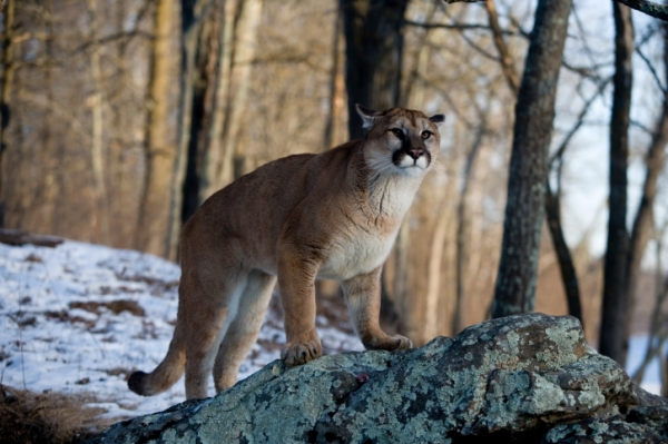 Nebraska game officials seek info on slain cougar