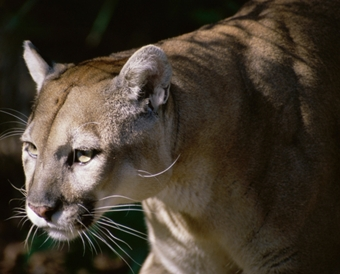 Mountain lion depredation of calf confirmed near Hay Springs