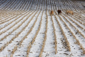 Can you effectively graze calves or yearlings on cornstalks?
