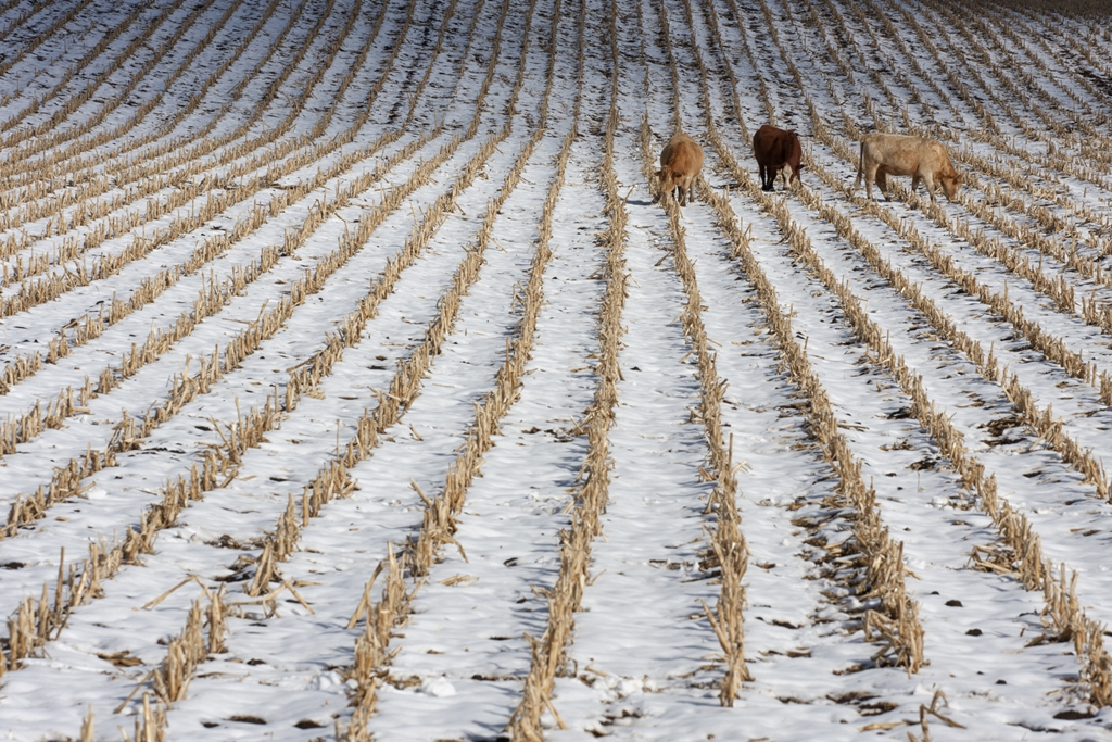(AUDIO) Keys for Corn Stalk Grazing This Season
