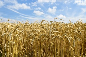 Researchers Look for Strategies to Reduce Wheat Yield Gap