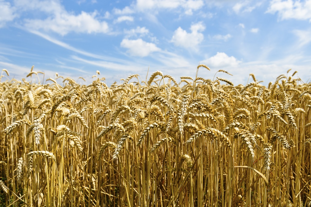 Wheat Growers Association President Resigns for Potential FSA Appointment