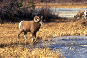 Game and Parks Commission authorizes big horn sheep permits