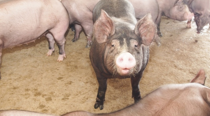 COURTESY_Thinkstock_pig (2)