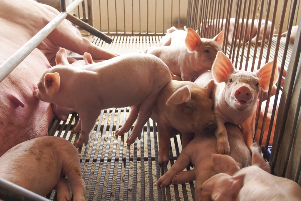 Pork Producers Set Resolutions on 2019 Important Issues