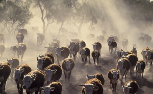 IRS Extends Drought Deferrals for Livestock Producers