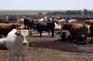 Cash Cattle Hit New Record Highs