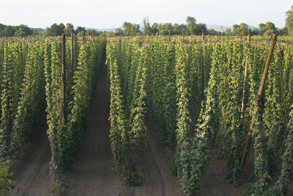 Midwest Hop Producers & Nebraska Extension Hops Field Day and Scouting Workshop