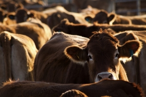 US Cattle-On-Feed Down 1 Percent