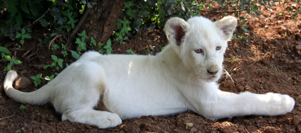 Omaha zoo announces birth of rare white lion cub