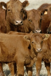 Calving Schools Planned in January