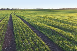 Controlling Weeds in and Fertilizing Winter Wheat, Particularly Late-Seeded Fields