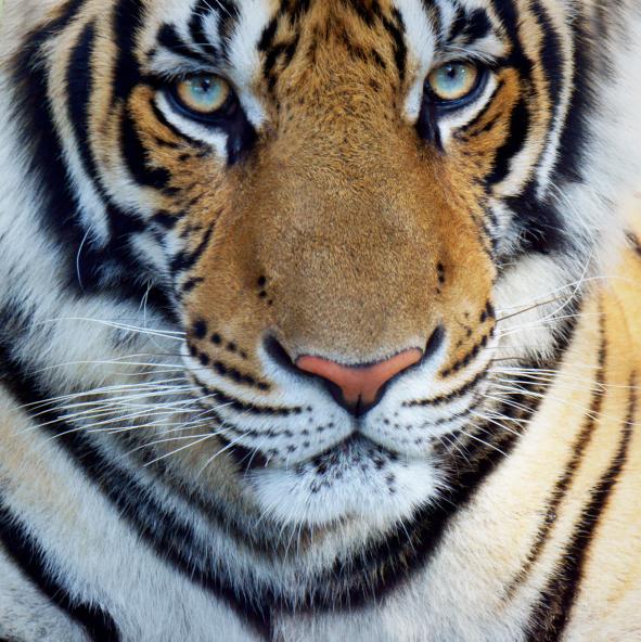 Nebraska zoo's new tiger kills its new parrot