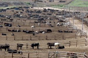 U.S. Cattle on Feed Up 1 Percent, NE Down 4 and KS Up 6