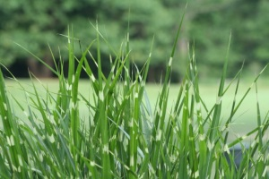 Fescue May Lower Conception Rates Two Ways