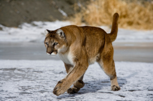 Mountain Lion spotted in Wayne