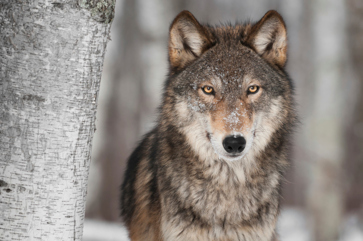 Wolf-like animal shot in central Montana, DNA tests underway