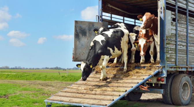 Thinkstock/Cows in Trailer/Istock