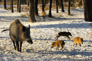 USDA set for round 2 of feral pig extermination at Havasu