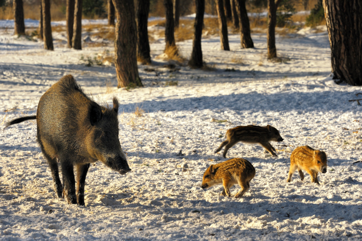 Missouri reports 9,300 feral hogs killed in 2018