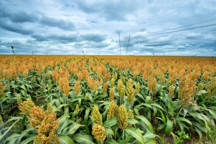 USDA Scientist Helps Texas Sorghum Growers Reduce Water Use