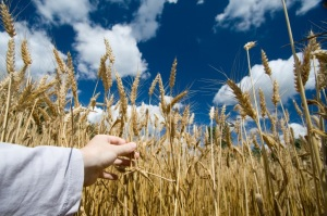 Dane G. Hansen Foundation Awards $200,000 to Kansas Wheat Commission Research Foundation