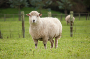 Study Shows Positive Impact of American Sheep Industry