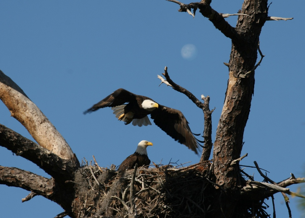 Bald eagle nest numbers surpass 200 in 2017