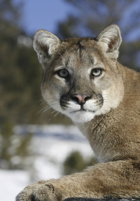 Mountain lion depredation of two goats confirmed near Chadron
