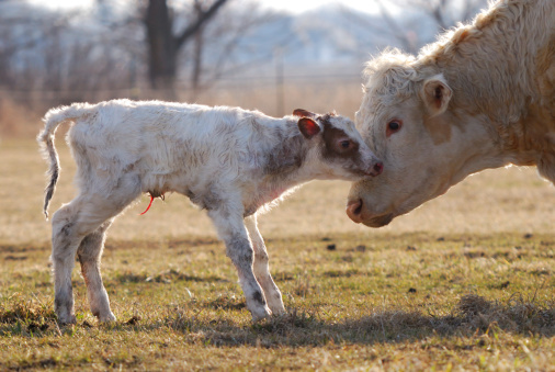 COURTESY_ThinkStock_Baby Calf
