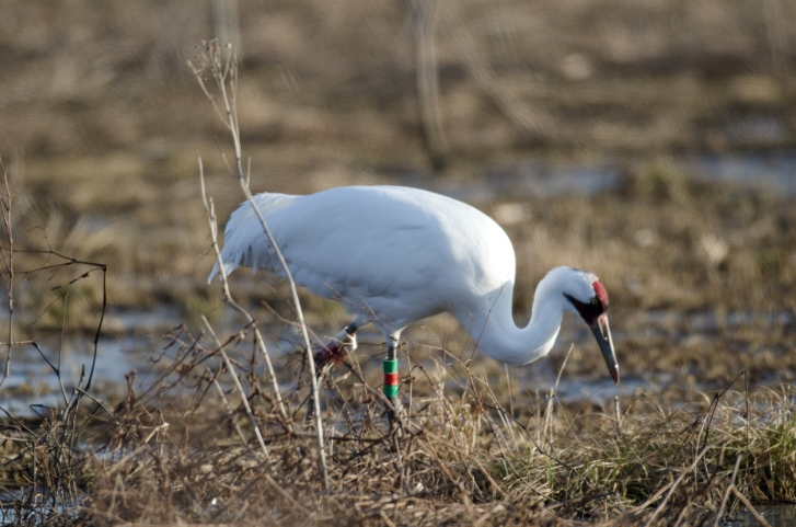 Public encouraged to report whooping crane sightings