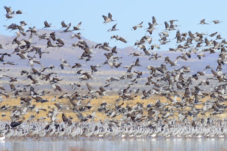 Experts: Keystone XL pipeline power lines will hurt cranes