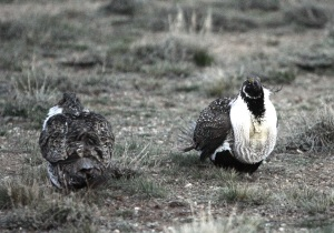 USDA Commits New Funding to Protect Sage-Grouse, More Private Investments Needed