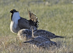 Ag Sec Vilsack Promising More Money to Protect Sage Grouse