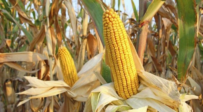 STOCK_corn1