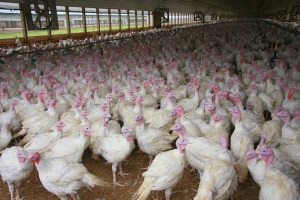 Missouri turkey farm quarantined after bird flu detected