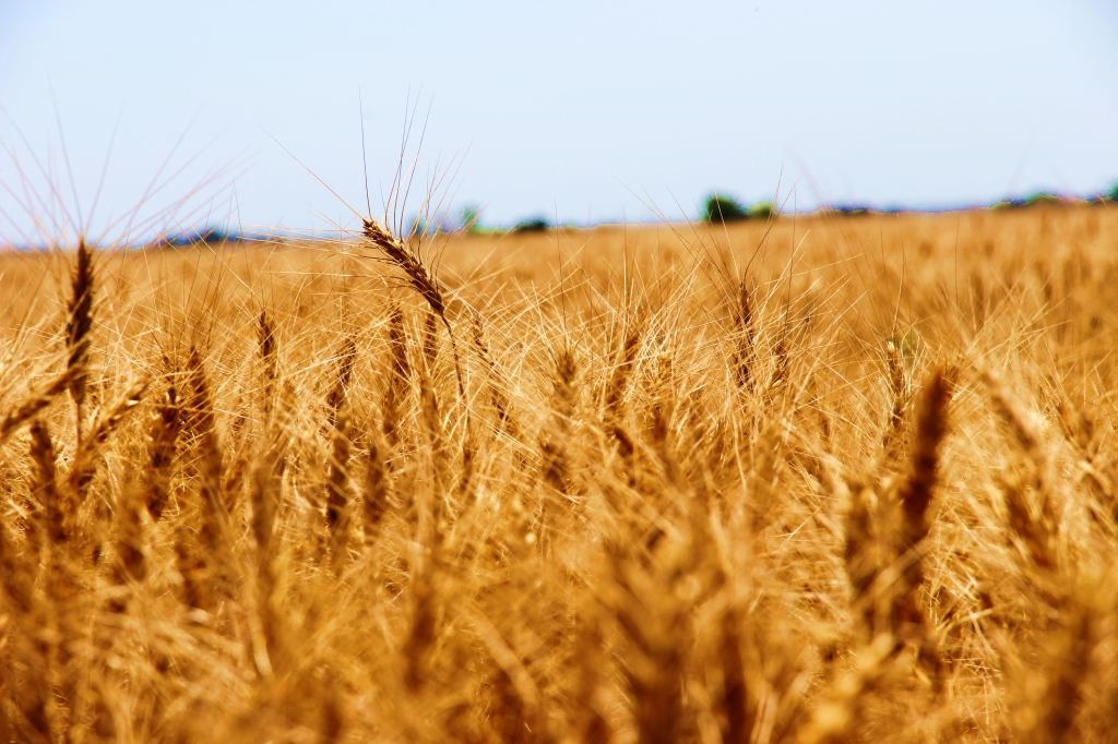 Drought Cuts EU Grain Harvest