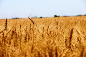 Algerian wheat purchase raises US farmer hopes for exports