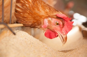 USDA Studies Avian Flu Pathways