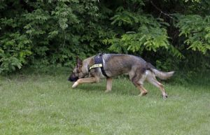 Retired military dogs find new purpose in US meth wars