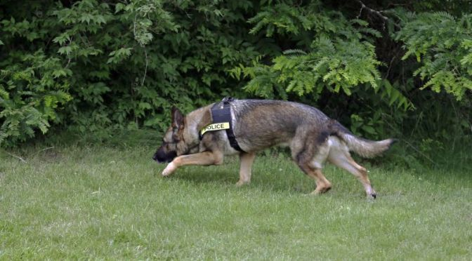 Courtesy/AP. In this photo taken June 1, 2015, Axel, a 5-year-old German shepherd that spent three years in Afghanistan as a search and narcotics dog, searches along the tree line during a drill at a school in Indianapolis. Military dogs that spent years in war zones are putting their noses to new uses by helping police in the U.S. combat methamphetamine and other drugs.