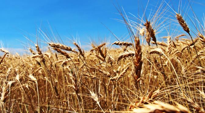 RRN_Wheat1